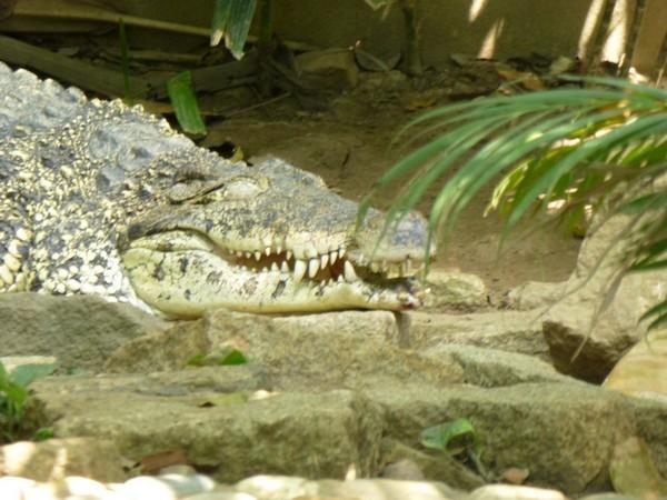 crocodiles-en-semi-liberte-hcmc