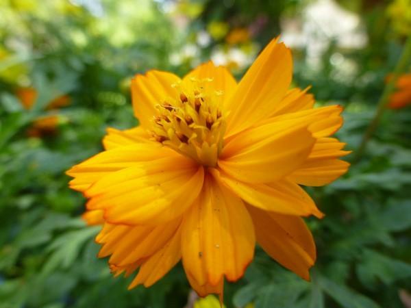 fleur-orange-vietnam