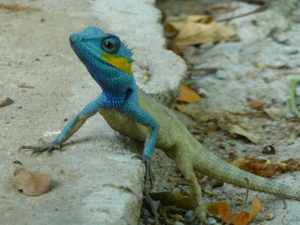 iguane-a-tete-bleue-gros-plan