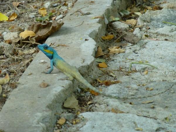 iguane-a-tete-bleue