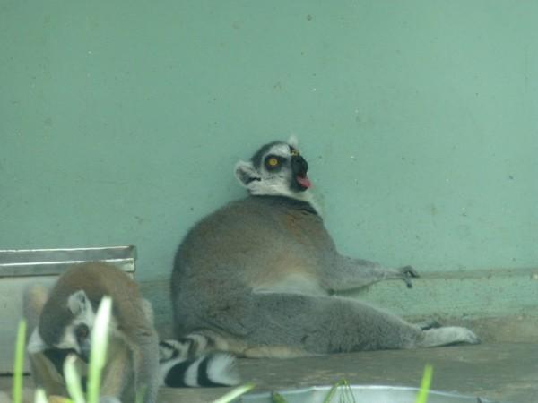 lemurien-zoo-hcmc