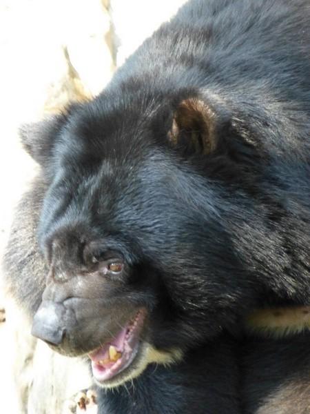petit-ours-noir-zoo-hcmc