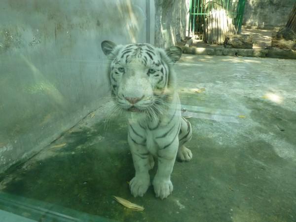 tigre-blanc-zoo-hcmc
