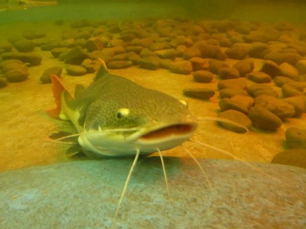 gros-poisson
