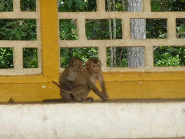 jeunes-singes