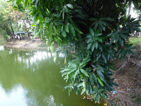manguier-au-vietnam