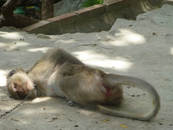 singe-attache-montagne-vierge-noire