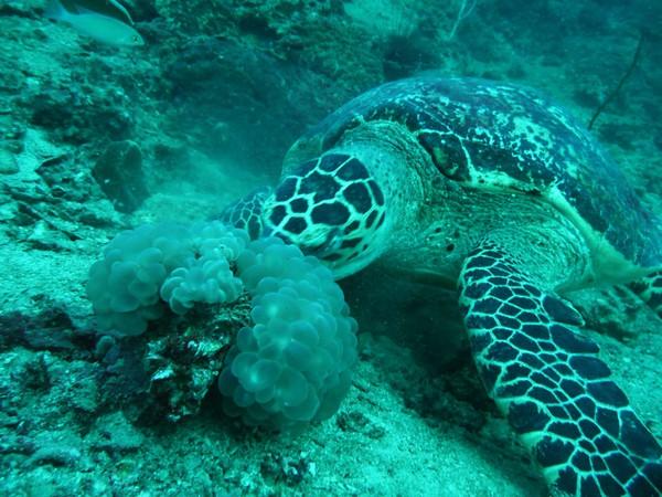 tortue-plongee-a-ko-phi-phi